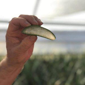 Benessence Pulpa de Aloe Vera